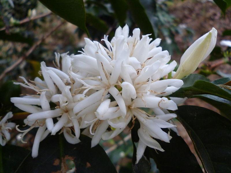 File:Flor de café arabico en San Roque Colombia.JPG