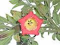Flor de campana.JPG