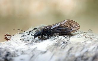 Neuropterida - Sialis lutaria (Megaloptera: Sialidae)