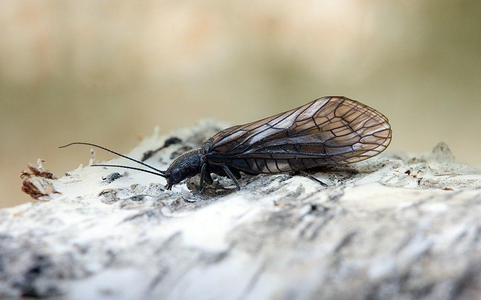 Florfliege Alderfly Sialis lutaria