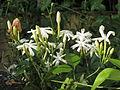 Flower nithiya-malli 1.jpg