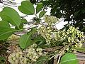 Flower of Jamblang (Syzygium cumini) 01.JPG