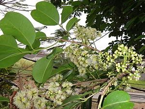 Syzygium cumini - Flower bud and open flowers