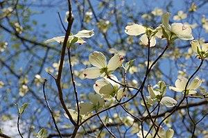 Flowering Dogwood Cornus florida Tree Flowers ...