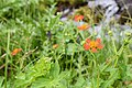 Flowers of Jablanica Mountain, Struga 01.jpg