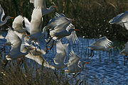 Flying birds in Loxahatchee National Wildlife Refuge.JPG