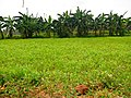 Forage Sorghum of Tamilnadu.jpg
