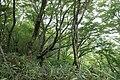 Forest in Mt.Futatsuya 03.jpg