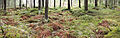Forest panorama2.jpg