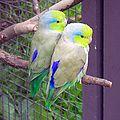Forpus coelestis -Wilhelma Zoo-8a-4cp.jpg