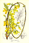 Forsythia suspensa.jpg