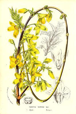 Hängende Forsythie (Forsythia suspensa)