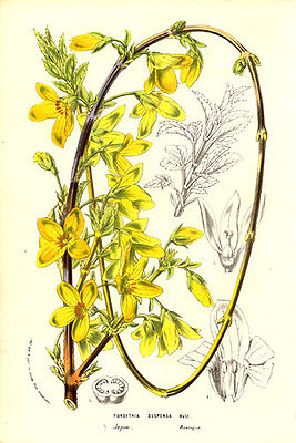 Hänge-Forsythie (Forsythia suspensa), Illustration