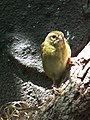 Foudia madagascariensis female.JPG