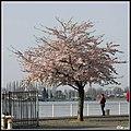Frühlingsblüte (Antwerpen 2007-04) - panoramio.jpg