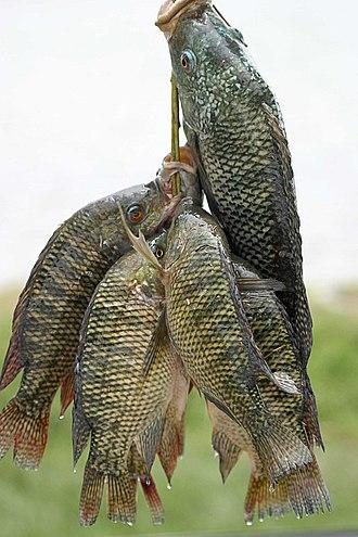 Nueva Vizcaya - Image: Fresh tilapia
