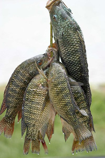File:Fresh tilapia.jpg