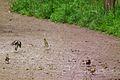 Fringilla coelebs bei der Futtersuche Juni 2012.JPG