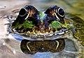 Frog - panoramio (4).jpg