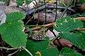 Frosch im Naturschutzgebiet Eldena 20181009.jpg