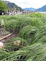 Fry grass -a.jpg
