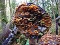 Fungal growth on wood - geograph.org.uk - 1011744.jpg