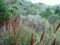 Fynbos enclave in Newlands Forest Cape Town 2.jpg