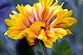 Gaillardia aristata Oranges & Lemons 2zz.jpg