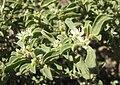 Galenia pubescens.jpg