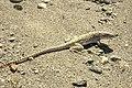 Gambelia wislizenii Mojave.jpg