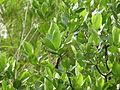Gardenia gummifera 015.JPG