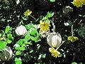 Gardeniavolkensii-flowers&foliage&fruit.JPG
