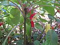 Gardenology.org-IMG 0501 rbgs10dec.jpg