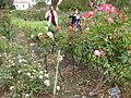Gardenology.org-IMG 5362 hunt0904.jpg