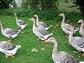 Geese Fruggo02.JPG
