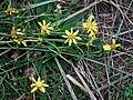 Gelb blühende Pflanze auf einer Düne.JPG