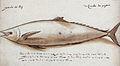 Gelderland1601-1603 Scomberomorus sp.jpg