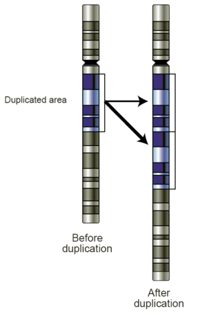 Copy-number variation - This gene duplication has created a copy-number variation.  The chromosome now has two copies of this section of DNA, rather than one.