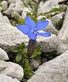 Gentiana verna in Totes Gebirge.jpg