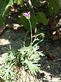 Geranium columbinum sl7.jpg