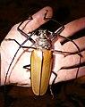 Giant Longhorn Beetle (Enoplocerus armillatus) large male ... (39590512794).jpg