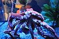 Giant Pacific Octopus (Octopus dofleini) (7007259144).jpg