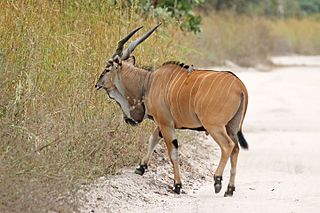 Giant eland An open-forest and savanna antelope of the family Bovidae