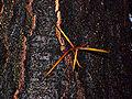 Gleditsia japonica0.jpg