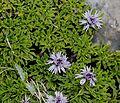 Globularia repens - Flickr - S. Rae (1).jpg