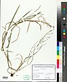 Glyceria notata herbarium (01).jpg