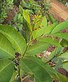 Glycosmis pentaphylla 06.JPG