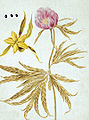 Gmelin - Flora Sibirica - Paeonia anomala L 3.jpg
