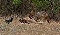 Golden jackal & Chital carcass 2.jpg