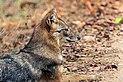 Golden jackal (Canis aureus indicus) male head.jpg